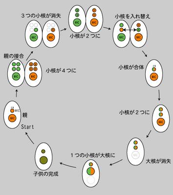 オキシトリカの細胞分裂.png