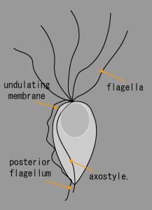 トリコモナス.png