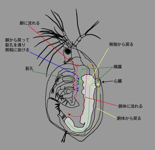 ミジンコ循環.png