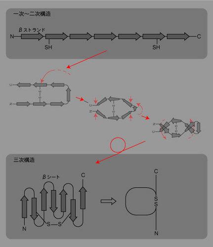 免疫構造たんぱく質_1.jpg