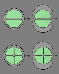 内生胞子形成型.png