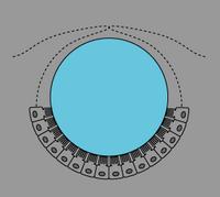 動物の光受容体細胞配列04.png