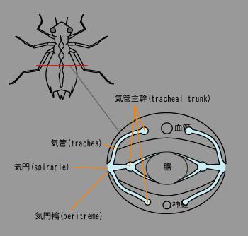 昆虫の気管1.png