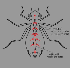 昆虫の血管.png