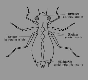昆虫の血管2.png