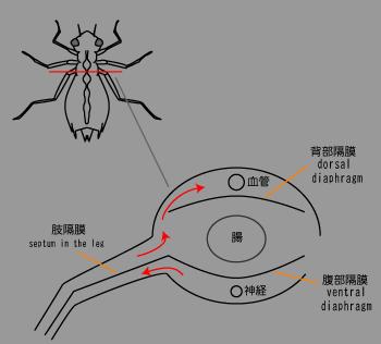 昆虫の血管3.png