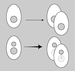 核細胞分裂2.png