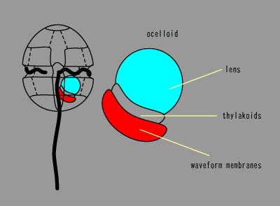 渦鞭毛虫の眼.png