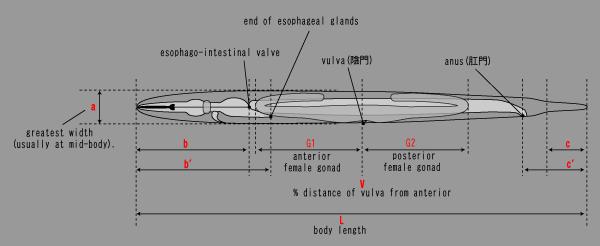 線虫の体2.png