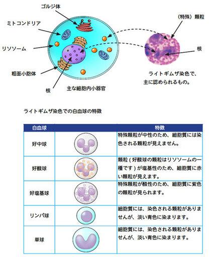 血液細胞.jpg