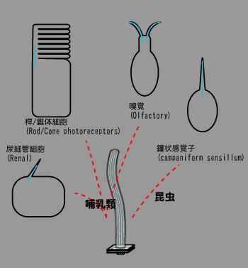 鞭毛の進化-多様性.png