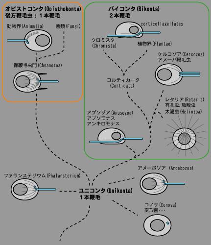 鞭毛の進化ユニコンタバイコ.png